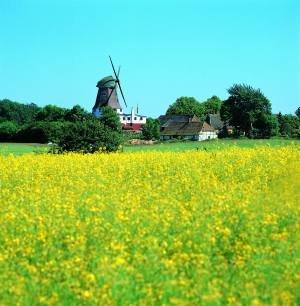 Rapsfeld mit Windmühle.  © John Summer