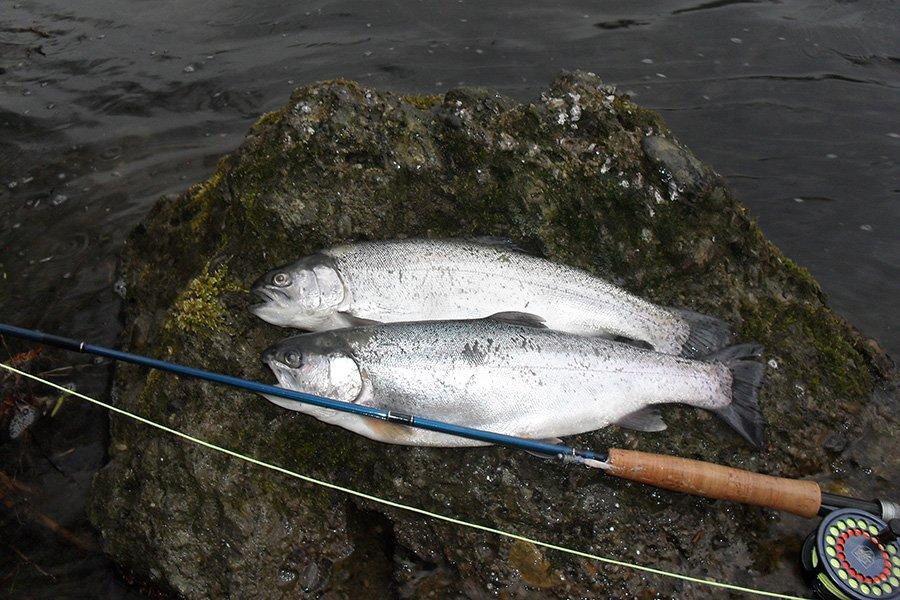 Zwei tolle Silberbarren die vor der Steilküste im Süden Langelands gefangen wurden.