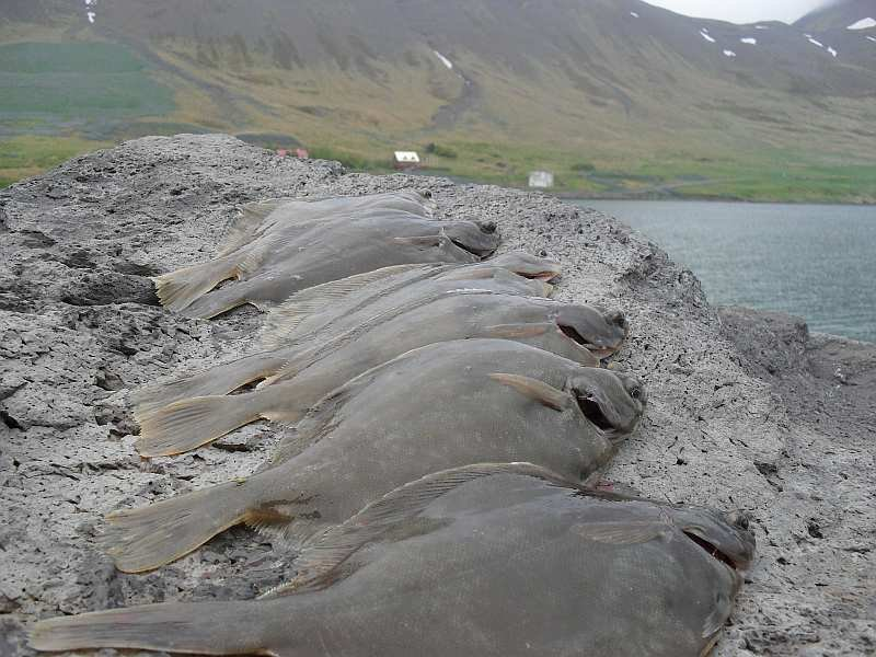 Im Hafenbecken von Flateyri sind schnell paar Klieschen zum Abendessen gefangen.