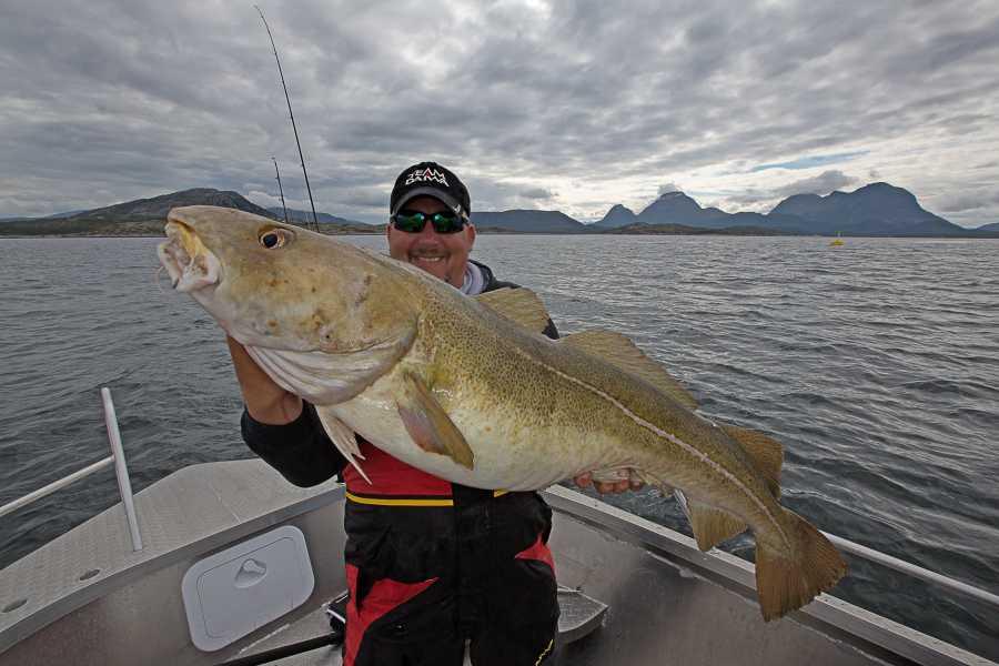 Hier ein 15 Kilo Dorsch aus der Trondheimsleia.
