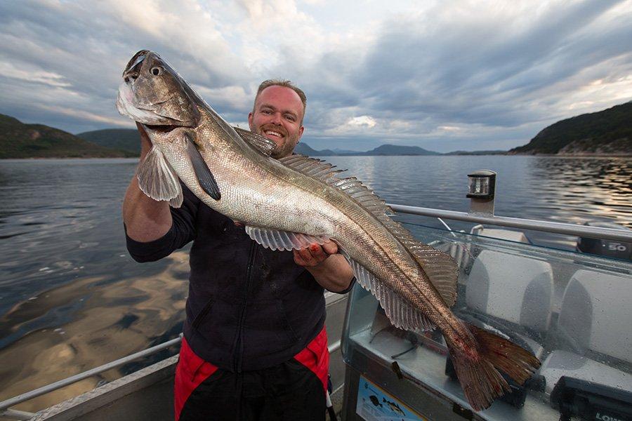 Von Mitte Juli bis Ende September lauern die Seehechte im Hemnefjord auf Beute.