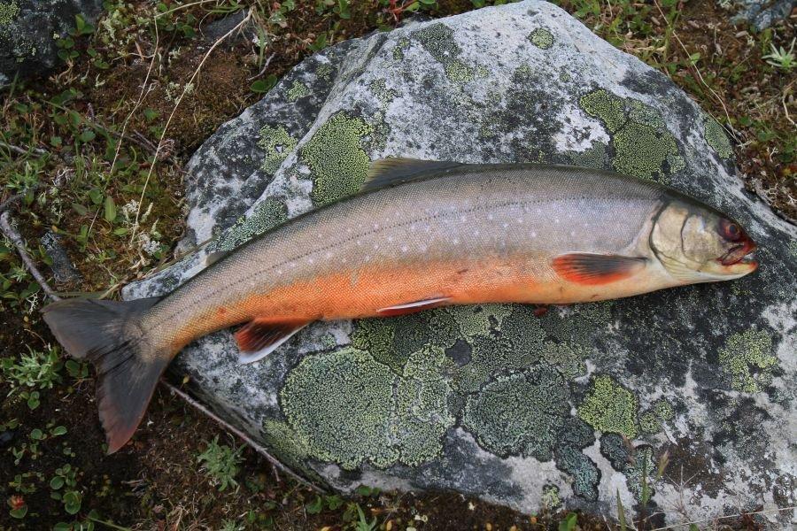 Salmoniden aller Art sind im Flussdelta zu Hause