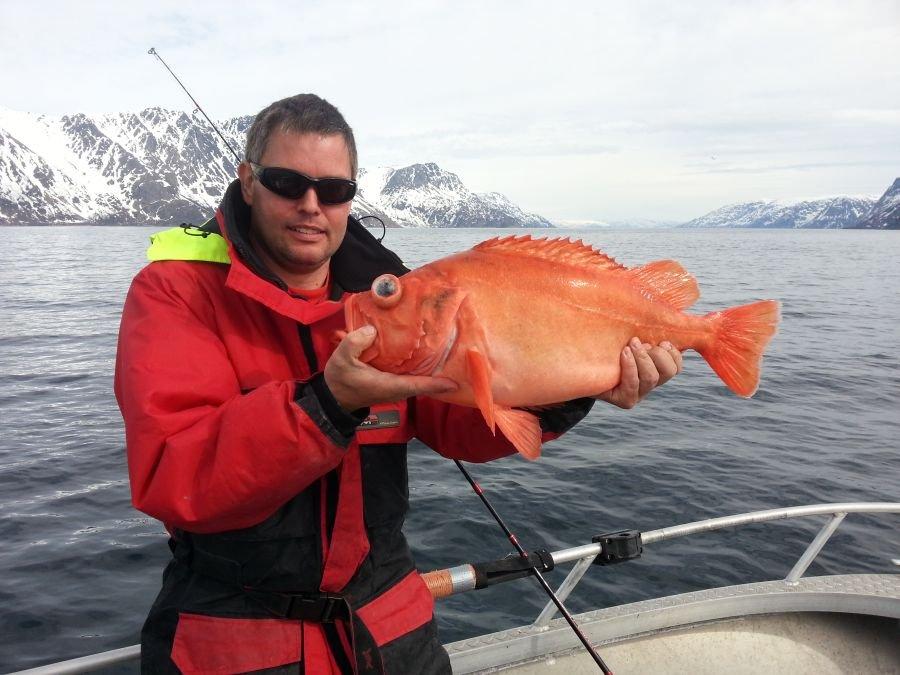 Gehen in Tiefen bis 200 Meter vor Stjernøya an die Paternostermontage - goldige rote Riesen!