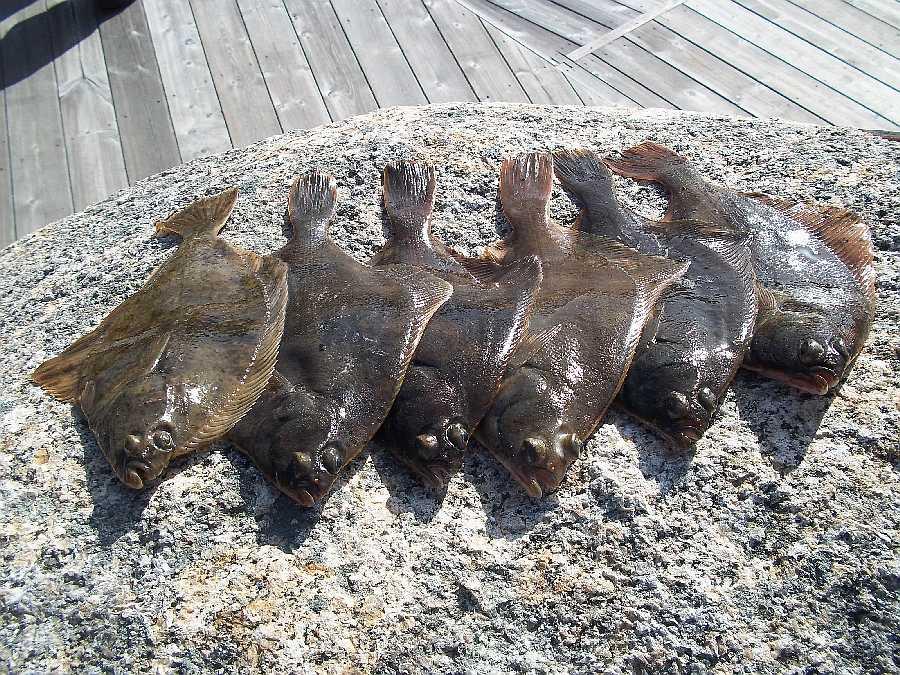 Plattfische kommen in diesem Revier sehr häufig vor.