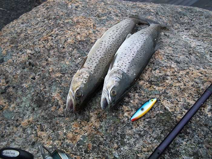 Die sind im Grønnsfjord alles andere als selten - Meerforellen