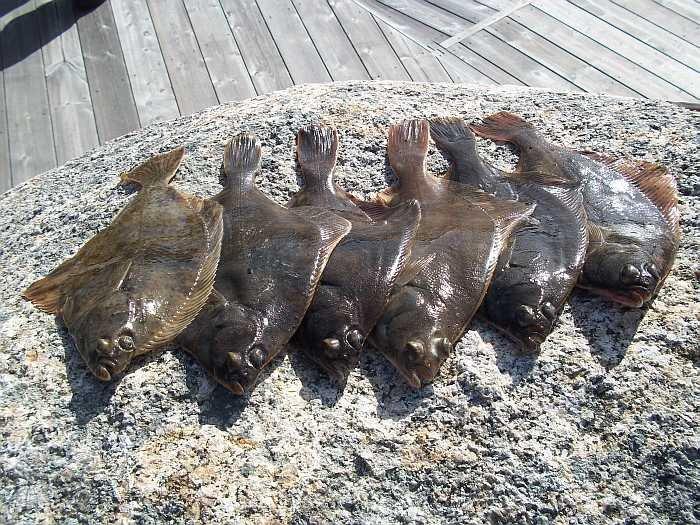 Häufige Fänge im Fjord und oft auch schon vom Steg - Plattfische!