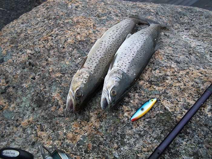 Weit verbreitet im Rosfjord - Meerforellen