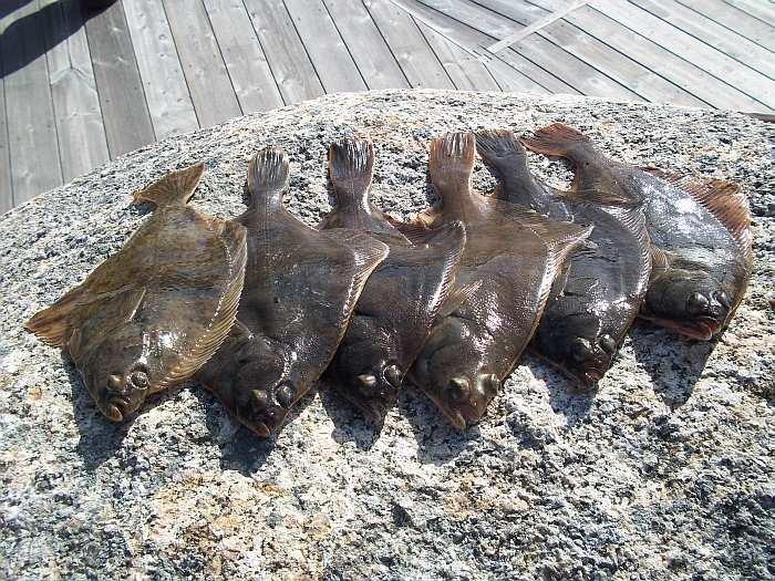 Plattfische vom Steg