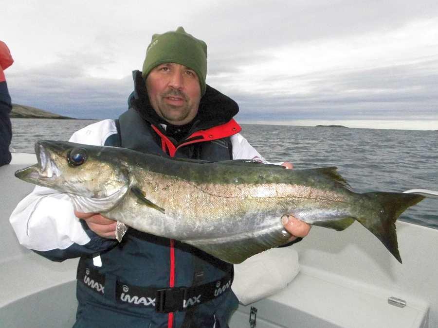 Pollack! Einer der wichtigsten Zielfische hier im Süden.