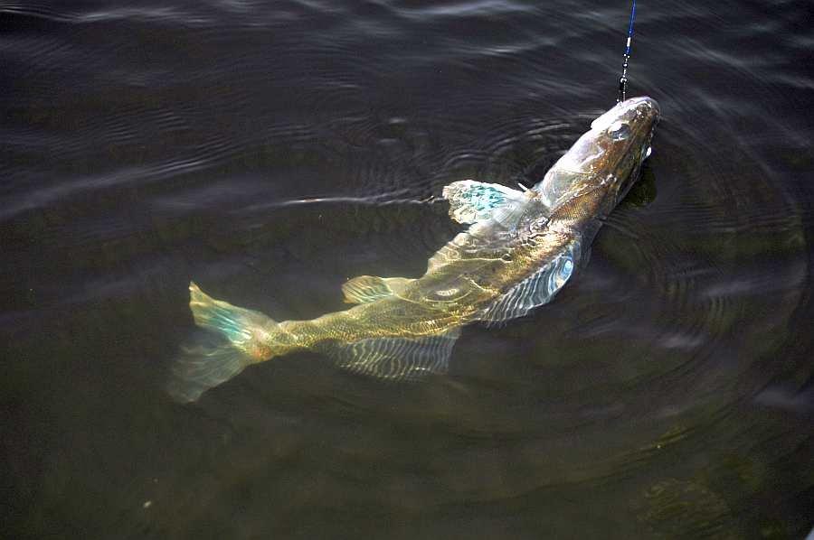 Der Zander ist einer der Zielfische!
