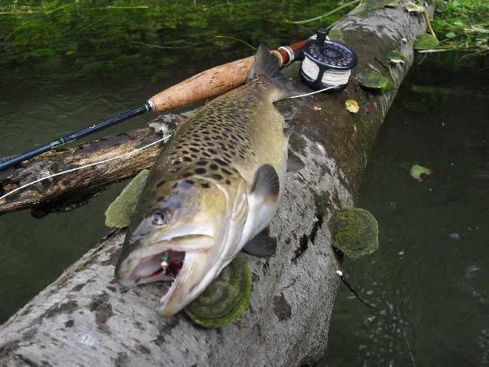 Solche Bachforellen sind im Fluss möglich.