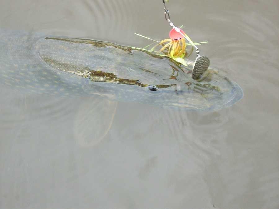 Erfolg im flachen, verkrauteten Uferbereich mit Spinnerbait