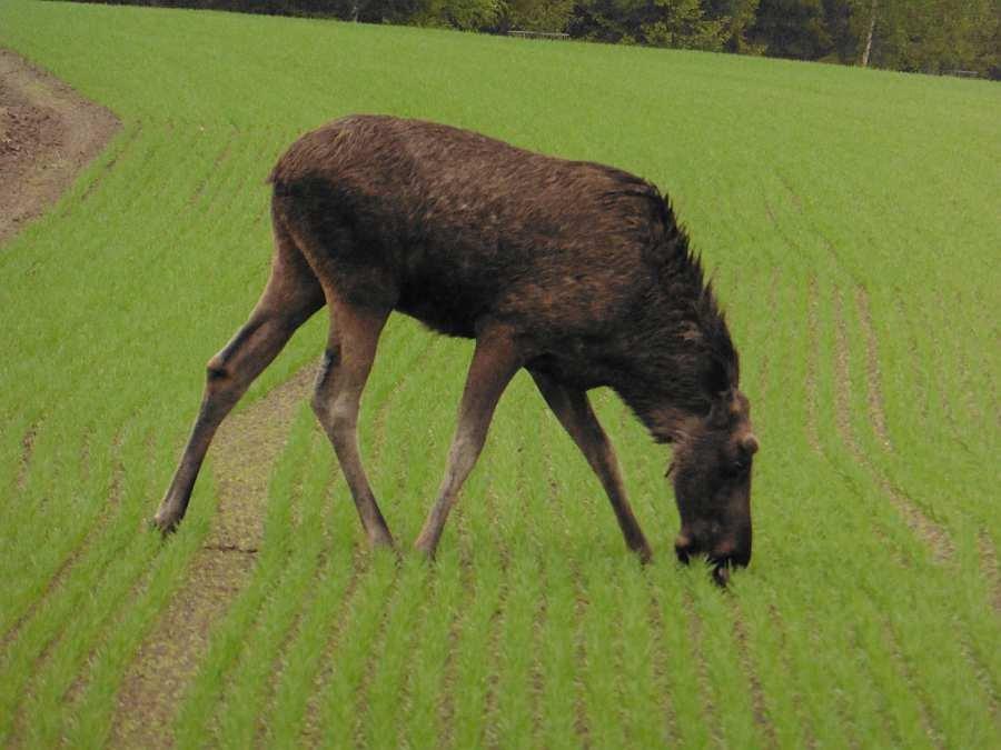 Besonders in den Abendstunden auf den Feldern und am Waldrand zu beobachten - Eche!