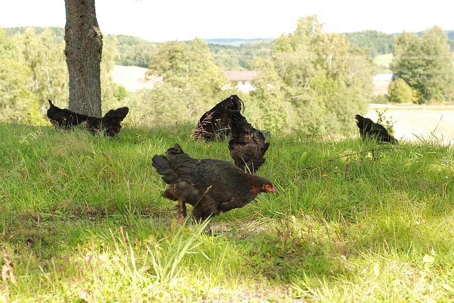 Hühner...