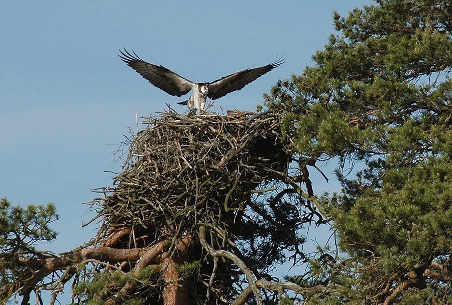 Der weiß wo die Fische stehen - Seeadler am See Stora Le