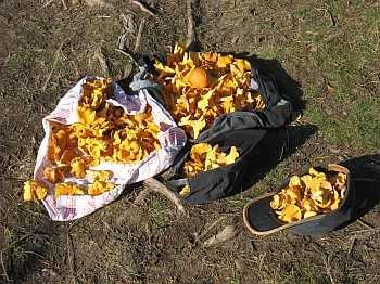 Im Naturschutzgebiet Vestfjella werden Sie viele Pilze finden...