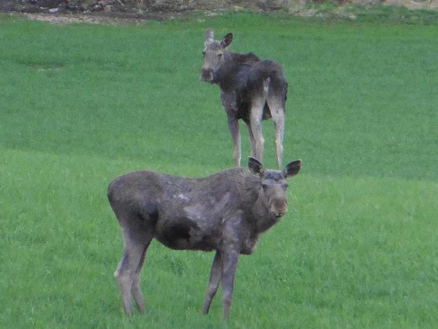 In der Gegend gibt es viele Elche