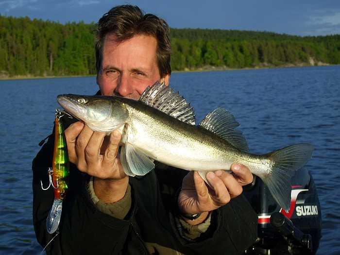 Der See Vansjø beherbergt einen gute Zanderpopulation. Hier kleines Männchen im Juni.