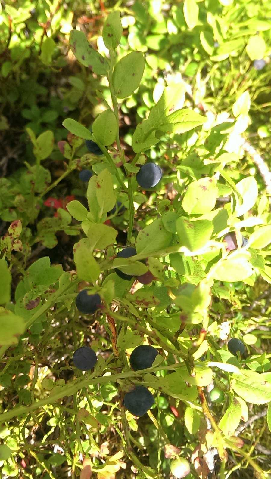Und es gibt reichlich Beeren im Wald. Himbeeren, Walderdbeeren oder eben Mengen von Blaubeeren