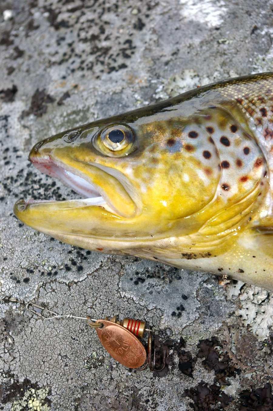 In der allgemeinen Flußzone der Trysilelva darf auch mit Spinnködern und Wurm/Made etc. gefischt werden (selbe Angellizenz wie am hauseigenen See)