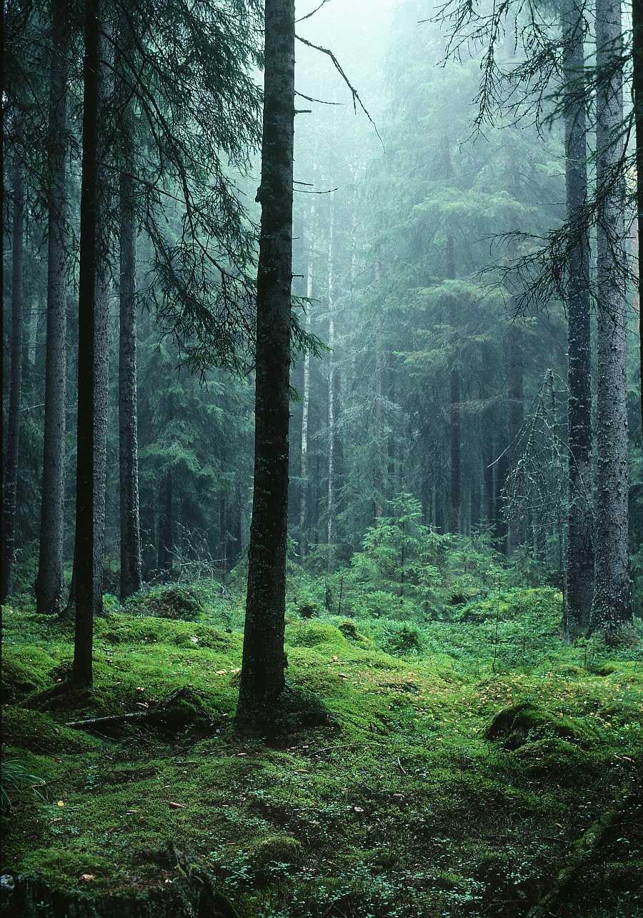 Schwedischer Wald © Håkan Vargas