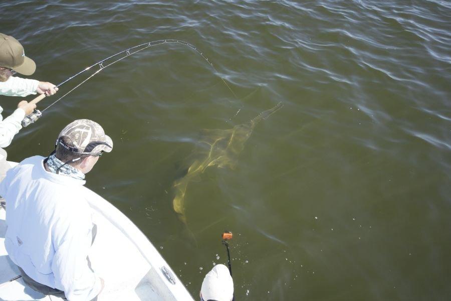 Riesiger Sägerochen, auch Sawfish genannt. Der Fisch biss auf Ansage in einem Meter Tiefe auf Fischfetzen.